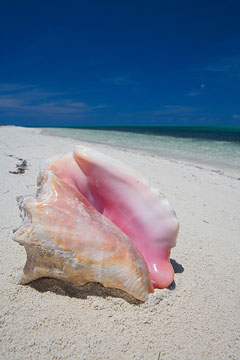conch shell - the bahamas
